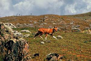 Simien Jackal (Ethiopian wolf) endemic, Ethiopia. Only about 300 of these dogs are left in the wild - Keith Scholey
