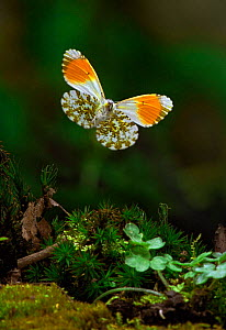 Orange Tip butterfly in flight, Germany (Anthocharis cardamines)  -  Hans Christoph Kappel