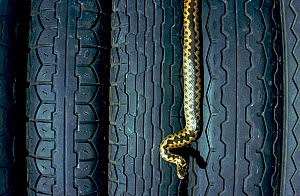 Adder and car tyres.  -  Chris Packham