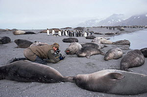 Cameraman Mike Richards filming Southern fur seals at breeding colony for BBC series Life in the Freezer, South Georgia 1992 - Ben Osborne