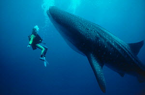 """Martha Holmes swims with Whale Shark off Hawaii, 1991 on location for BBC NHU television series """"Seatrek"""", Model released  -  Georgette Douwma"""