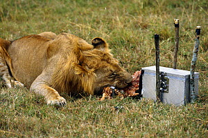 Remote camera filming lion eating prey,  for BBC television series 'Supersense' 1989  -  John Downer