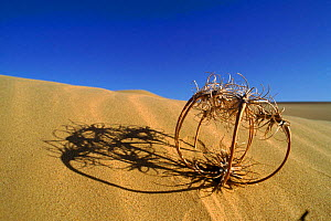 Birdcage evening primrose (tumbleweed) in sand dunes. Yuma Desert, Arizona, USA - Neil Lucas