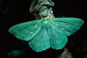 Large Emerald moth, UK  -  Duncan Mcewan