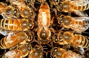 Queen Honey bee surrounded by worker bees (Apis mellifera) UK  -  John B Free