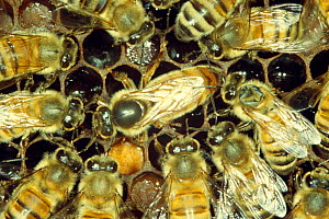 "Queen and ""court"" of worker Honey bees (Apis mellifera) UK  -  John B Free"