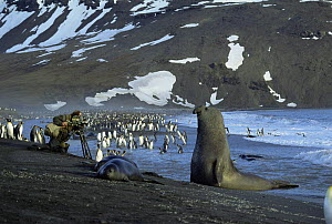 Camerman Mike Richards films King penguins watched by elephant seal, South Georgia. On location for 'Life in the Freezer' 1992  -  Ben Osborne
