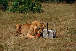 Remote camera in protective housing and bait used to film wild lion close up for BBC television series 'Lifesense'  -  John Downer
