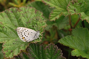 Yukon Blue Butterfly on leaf (Plebejus optilete), Alaska, USA - David Welling