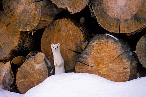 Stoat / Ermine in winter coat by wood pile (Mustela erminea) Grand Teton NP, USA  -  TOM MANGELSEN