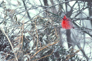 Northern cardinal fluffed up in tree. (Cardinalis cardinalis) Montana  -  TOM MANGELSEN