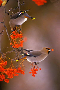 Bohemian waxwings eating berries (Bombycilla garrulus) Montana  -  TOM MANGELSEN