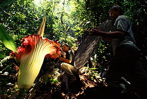 Filming Amorphophallus, the world's largest flower, in Sumatra rainforest for BBC television series 'The Private Life of Plants' August 1993. - Neil Lucas