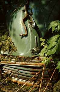 Grass snake on abandonned car bonnet  -  Chris Packham