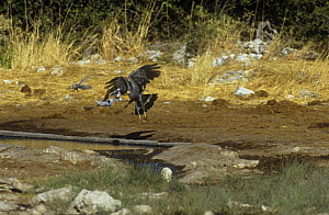 African harrier hawk (Polyboroides typus) chasing doves from water, Etosha NP, Namibia - Tony Heald