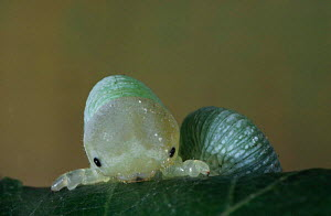 Birch Sawfly larva eating leaf (Cimbex femoratus) UK  -  Duncan Mcewan