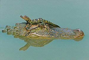 American Alligator female carrying baby on head. Texas, USA  -  David Kjaer