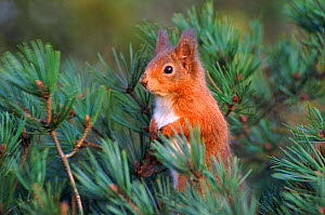 Red squirrel in Scots pine tree, Scotland  -  Niall Benvie
