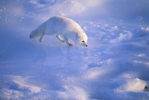 Arctic Fox on ice, Canada (Vulpes lagopus)  -  TOM MANGELSEN