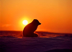 Arctic Fox sitting at sunset. Canada (Vulpes lagopus)  -  TOM MANGELSEN