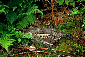 Nightjar on nest, England  -  David Kjaer