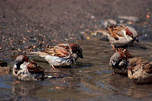 House Sparrows (Passer domesticus) bathing in puddle England  -  David Kjaer