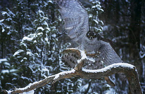 Northern Goshawk {Accipiter gentilis} male taking off from branch, Finland  -  Seppo Valjakka