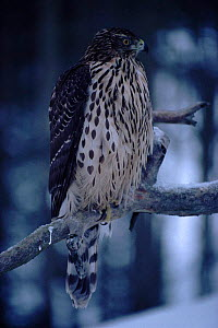 Goshawk male juvenile on branch (Accipiter gentilis) Finland, winter  -  Seppo Valjakka