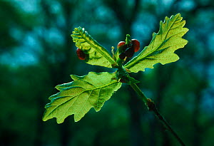 Cherry galls developing on young oak leaf caused by gall wasp (Cynips quercusfolii). Scotland, UK, Europe - Duncan Mcewan