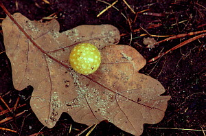 Cherry Gall on Oak leaf caused by gall wasp, Cynips quercusfolii, Scotland - Brian Lightfoot