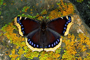 Camberwell Beauty Butterfly (Nymphalis antiopa) Germany  -  Hans Christoph Kappel