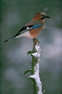 Jay (Garrulus glandarius) on tree stump. Finland, Scandinavia, Europe  -  Seppo Valjakka