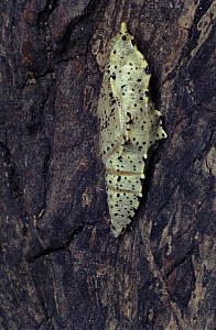 Large white / Cabbage white butterfly pupa, England, UK  -  John B Free