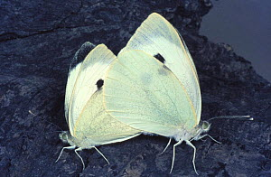 Large white / Cabbage white butterfly (Pieris brassicae) mating, England, UK  -  John B Free