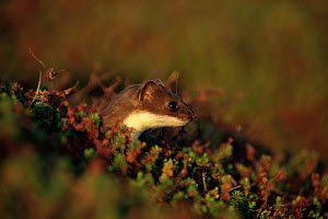 Stoat in midnight sun (Mustela erminea) northern Finland  -  Seppo Valjakka