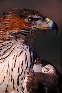 Bonelli's eagle female head portrait, Spain  -  Jose B. Ruiz