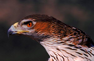 Bonelli's eagle (Hieraaetus fasciatus) female. Spain, Europe  -  Jose B. Ruiz
