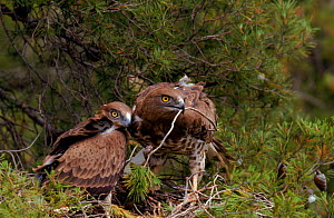 Short toed eagle with chick at nest, Spain  -  Jose B. Ruiz