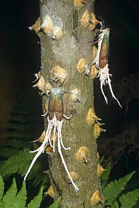 Reticulated planthoppers (Pterodictya reticularis) on (Zanthoxylon) at night, Ecuador  -  Doug Wechsler