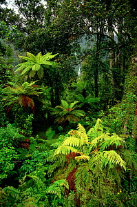Tree ferns (Cyatheaceae). South Island, New Zealand - Phil Chapman