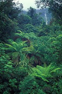Tree Fern forest (Cyatheaceae) South Island, New Zealand.  -  Phil Chapman