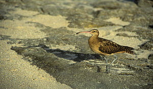 Bristle thighed curlew (Numenius tahitiensis) on beach, Henderson Island, Pacific, vulnerable species - Phil Chapman