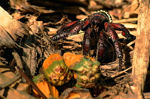 Giant Purple land hermit crab, Henderson Island. Favourite food is the oily nuts of Pandanus screw palms - Phil Chapman