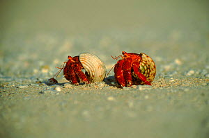 Scarlet land hermit crab. (Coenobita sp) Henderson Island. These crabs specialise in beach life, avoiding conflict with the primary forest-dwelling giant purple land hermit crabs  -  Phil Chapman