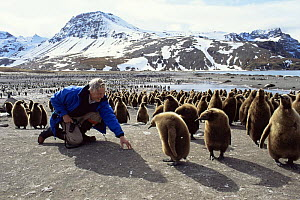 Sir David Attenborough with King Penguin chicks. St Andrews Bay, South Georgia. On location for Life in the Freezer 1992  -  Ben Osborne