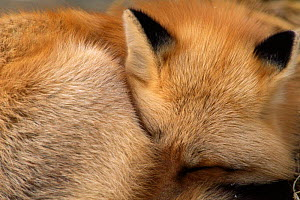 Red Fox close up sleeping (Vulpes vulpes)  Wildlife Park, Canada - captive  -  Jose Schell