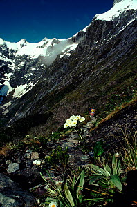 View near Mackinnon Pass, Clemisia daisies in foreground (part of Milford Track walk). Fiordland NP, South Island, New Zealand  -  Tim Edwards