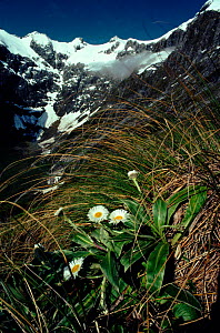 View near Mackinnon Pass, Clemisia diasies in foreground (part of Mildford Track walk). Fiordland NP, South Island, New Zealand  -  Tim Edwards