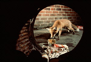 Red fox scavenging at dustbin. England - Chris Packham
