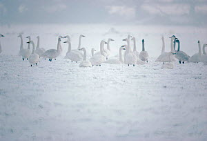 Bewicks swans in winter. (Cygnus columbianus bewickii) England Hampshire, UK  -  Chris Packham